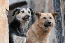 В связи с изменением законодательства отловленных бродячих собак с 2020 года будут отпускать обратно на улицу после стерилизации и чипирования