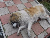 Пьяный сосед насмерть забил ломом собаку в пригороде Нижнего Тагила (фото)