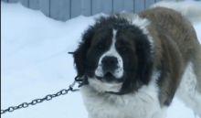 Трагедию под Нижним Тагилом, в которой сторожевой пес насмерть загрыз соседа, обсудили в ток-шоу на Первом канале (видео)