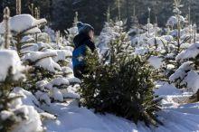 Срубить новогоднюю елку законно: когда, где и сколько стоит в Нижнем Тагиле