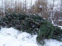 Ради празднования Нового года НТМК и «Уралхимпласт» вырубят 126 елей