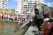По центру Нижнего Тагила прогулялись индийские слонихи (фото)