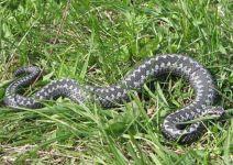 С начала августа змеи покусали четверых жителей Нижнего Тагила