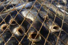 Пенсионеры-браконьеры сетями поймали на реке Нейва более сотни рыб