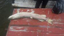 Рыба в Черноисточинском пруду оказалась заражена, а «Водоканал-НТ» продолжает демонстративно сливать шламы в питьевой водоем (фото)